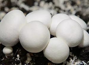 双孢菇高产优质工厂化生产技术